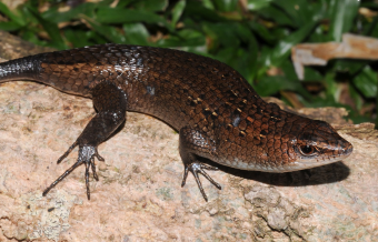New lizard species named after Sillimanian National Scientist